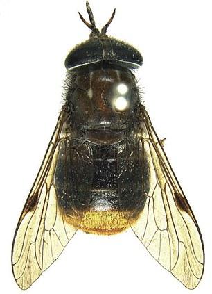 В честь Бейонсе представили свежий тип мухи